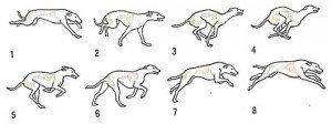 Breed profile Greyhound gait 530